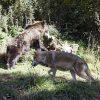 Cum au disparut lupii din Anglia
