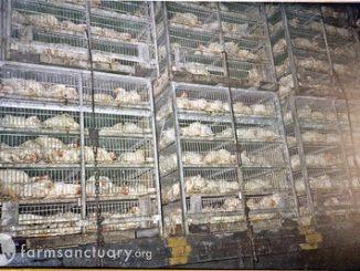 Carnea de pui spalata cu clor este sanatoasa afirma autoritățile din SUA